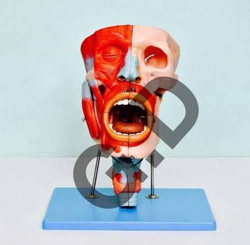 Nasal,Oral,Pharynx and Larynx Cavity Model