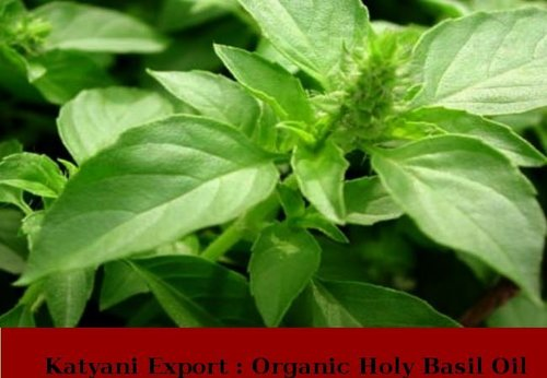 Organic Holy Basil Oil