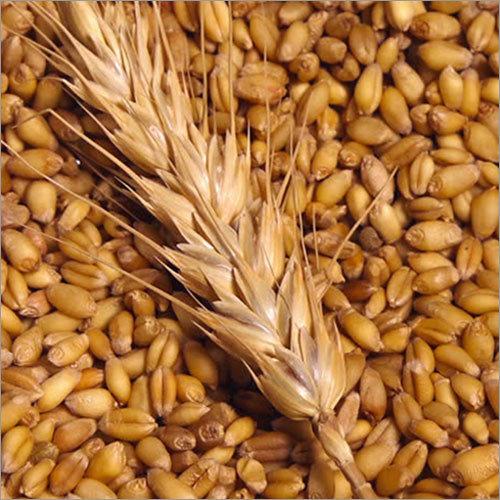 Wheat Plant Seeds