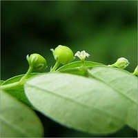 Bhoiamala Powder-Phyllanthus Niruri