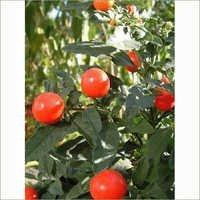 Bhoyringli Solanum Xanthocarpum