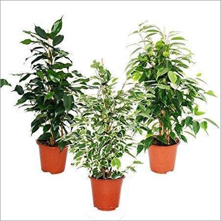 Ficus Benjamina Powder