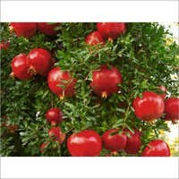 Pomegranate Contact Farming