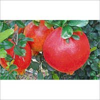 Export quality Pomegranate Procurement