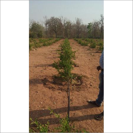 Plantation Assistance