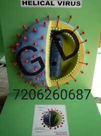 Helical Virus