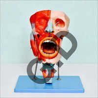 Nasal,Oral,Pharynx And Larynx Cavity Model