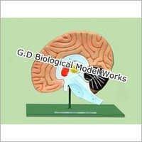 Brain Model