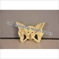 Human Pelvis Model