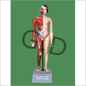 Human Female Body Model
