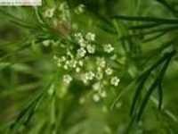 Apium leptophyllum