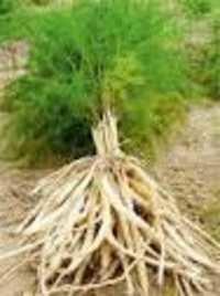Asparagus recemosus