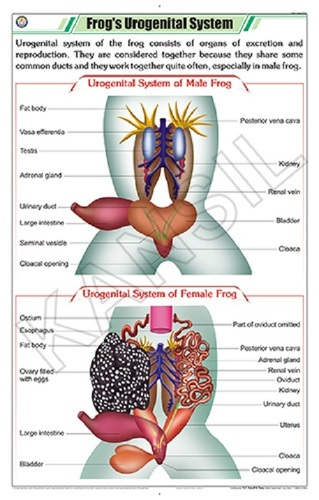 Frog's Urogenital System Chart