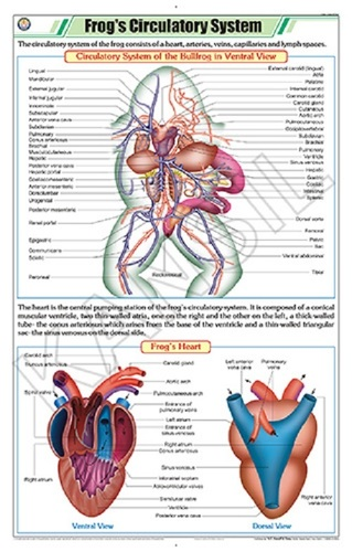 Frog's Circulatory System Chart