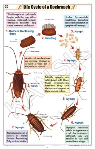 Life Cycle of Cockroach Chart