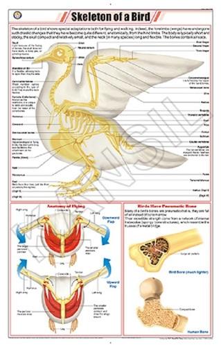 Skeleton Of Bird Pigeon Chart