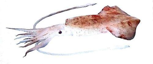 Indian Squid