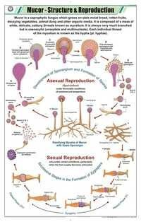 Mucor Structure & Repoduction Chart