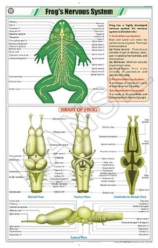 Frog's Nervous System Chart