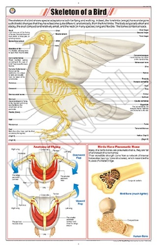 Skeleton of a Bird (Pigeon) Chart