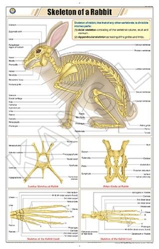 Skeleton of Rabbit Chart
