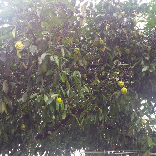 Garcinia Cambogia Tree