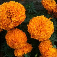 Marigold Extracts