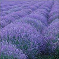 Lavender Air Freshener Refills