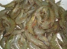 Frozen Vannamei Shrimps