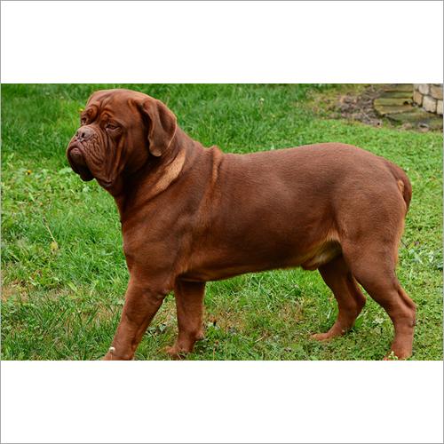 ABHIJYOT DOG FARM in Kurukshetra, Haryana, India - Company Profile