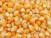 Dry Maize grain