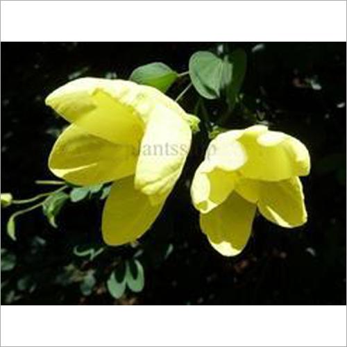 Bauhinia Tomentosa Plant
