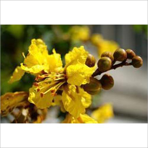 Peltophorum Plant