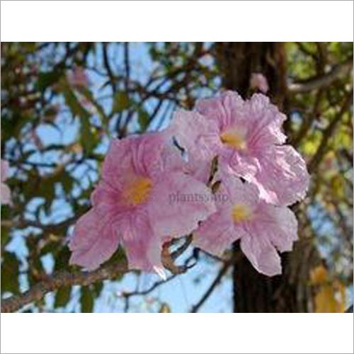 Tabebuia Rosea Plant