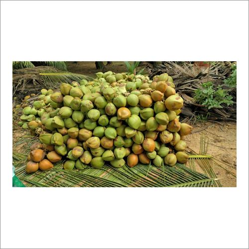 Fresh Green Tender Coconut - Fresh Green Tender Coconut