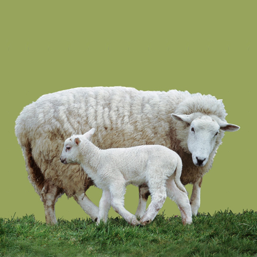 Products for Sheep and Goat