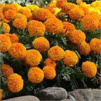 African Marigold Plant