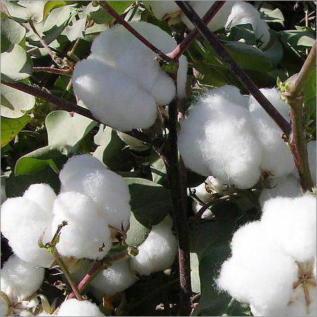 Cotton Hybrid Seed