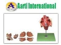 Female Genital Organs