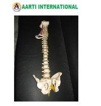 Super Deluxe Spine Model