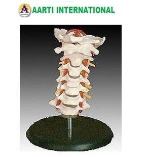 Cervical Vertebral Column with Neck Artery