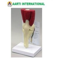 Mini Knee Joint with Muscles