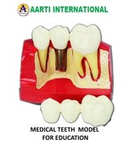 Medical Teeth Model for Education