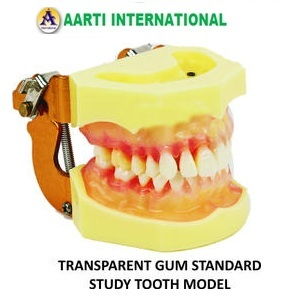 Dental Gum Standard Study Tooth Model