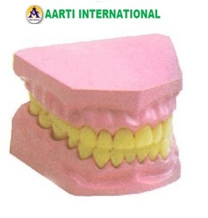 Small Dental Model