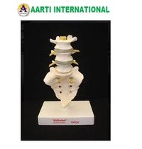 Lumbar Spine with Sacrum Model