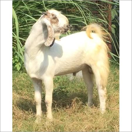 Malwa Goat