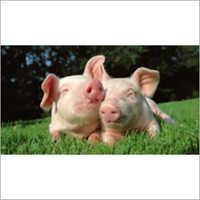 Multi Vitamin Premix for Swine