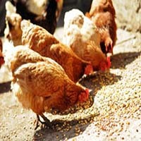 Universal Multi-Vitamin for Poultry