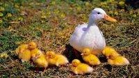 Multi Vitamin for Duck